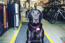 Haley - Shop Dog