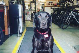 Haley - Shop Dog